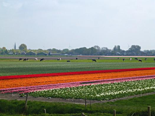 Lekker radeln mehr Tulpen