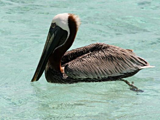 Karibischer Pelikan auf Curacao