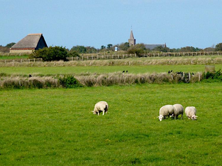 Schafe bei den Burg Texel