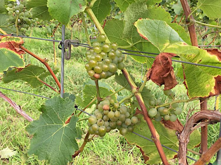 Weintrauben Texel
